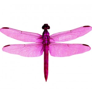 wing pack - dragonfly #1 pink